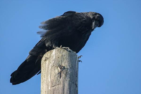 Raven on utility pole 2004 September 13