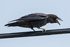 Juvenile raven perched on a telephone cable. Beak open showing pink mouth.