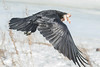 Raven flying away with meat in its beak.  Tip of one wing out of frame.