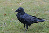 Wet raven with a dirty beak on grass.