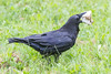 Raven with a piece of lard in its beak.