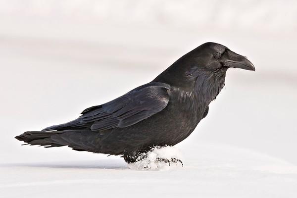 Raven on soft snow