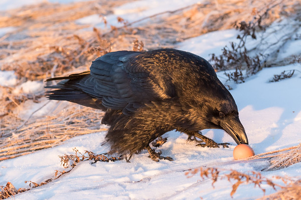 Raven eating an egg on the riverbank shortly after sunrise.