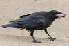 Juvenile raven with meat in its beak.