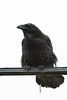 Raven on a cable. New behaviour, used to be just the crows would do this. Defecation.