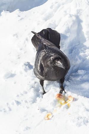 Raven eating egg.