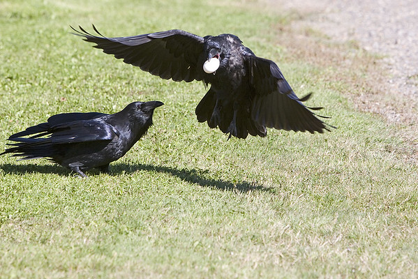 Two ravens, one of whom has just taken an egg desired by the other 2005 September 25