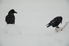 Two ravens, one eating, one watching.