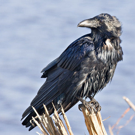 Raven on small stump, during grooming.