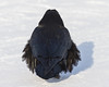 Raven on a cold day. Feathers puffed up.