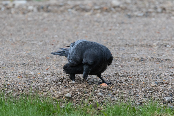 Raven caching an egg in driveway gravel.