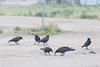 Six juvenile ravens.