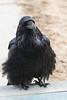 Raven at the door.
