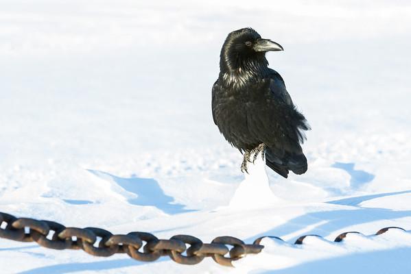 Raven on chunk of snow, Head turned.