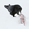 Raven dragging a piece of meat in the snow