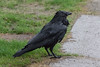 Raven at edge of sidewalk in the rain.