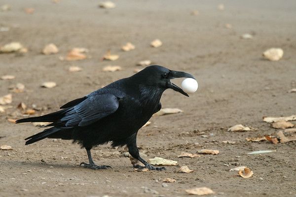 Raven on the ground with a white egg in its beak. 2004 October 23.