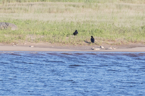 Two ravens along the edge of the sandbar.
