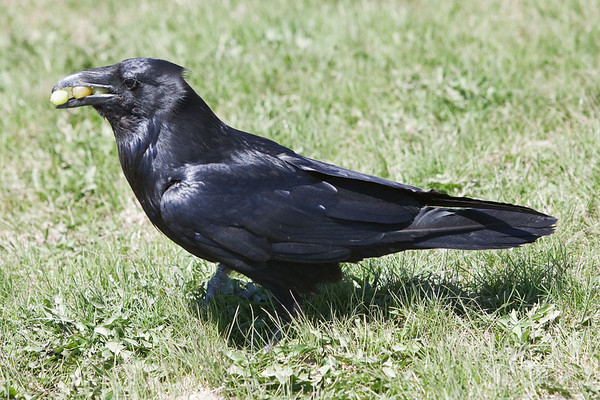 Raven standing in grass, grapes in mouth, side view.