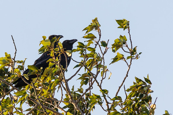 Two ravens in the trees along the Moose River in Moosonee.