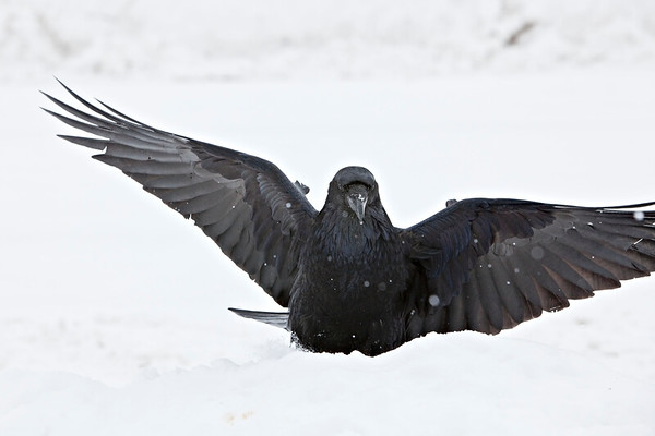 Raven in snow, wings outstretched, one wingtip out of frame, falling snow in frame