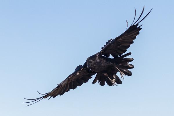 Raven in flight, descending, wings staright, feet extended.