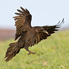Raven landing, one wing up