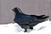 Raven standing in snow, seen from behind and  from photographer's right, one eye visible, head somewhat out of focus.