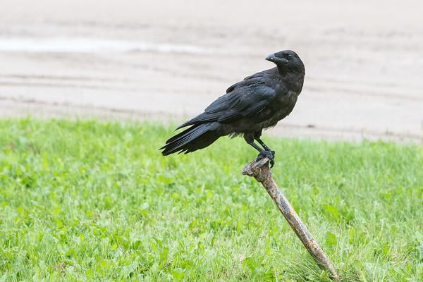 Juvenile raven sitting on water shut off.