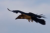 1600 pixel crop of Raven in flight, from side rear, wings outstrretched, feet partially open.