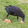 Juvenile raven eating a smashed egg