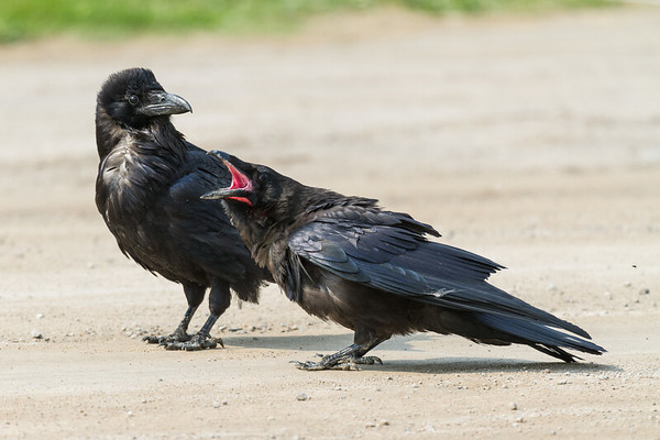 Adult raven with head feathers raised beside juvenile raven (pink mouth) calling.