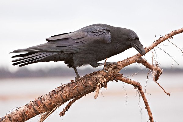 Raven perched on part of a cut down tree along the banks of the Moose River at Moosonee. Part of five shot sequence, Raven grabs a twig in beak and pulls and twists it and then throws it on the ground. Image 5/5, falling twig in lower right.