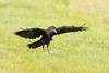 Juvenile raven about to land on grass.