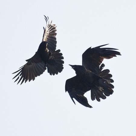 Crow and raven interacting.