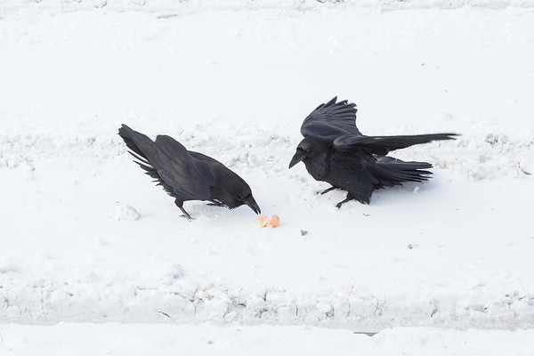 Two ravens not sharing a broken egg.
