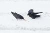 Two ravens not sharing a broken egg.