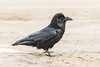 Raven on road, chuffed up.
