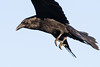 Raven in flight. Coming to land. One wing out of frame. Note red area along edge of eye.