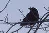 Raven in a tree on a cold morning, waiting for breakfast.