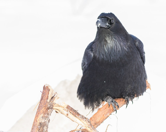 Raven sitting on some driftwood.