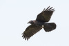 Juvenile raven in flight from side, feet curled, wings out, tail spread.