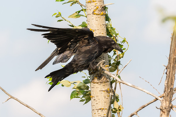 Raven leading and flying to a higher branch in a tree.