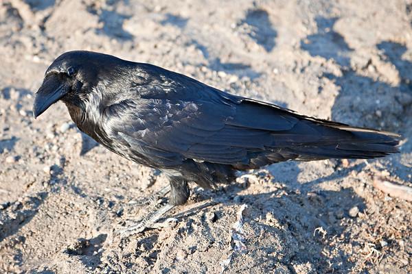 Raven on the ground, walking in gravel