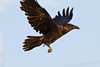 Raven in flight, wings up, one wingtip out of frame.