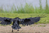 Rain soaked Raven from behind as it lands. One wingtip out of frame.