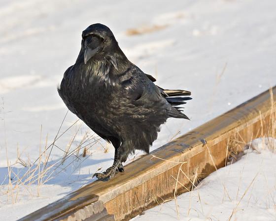 Raven walking on a rail