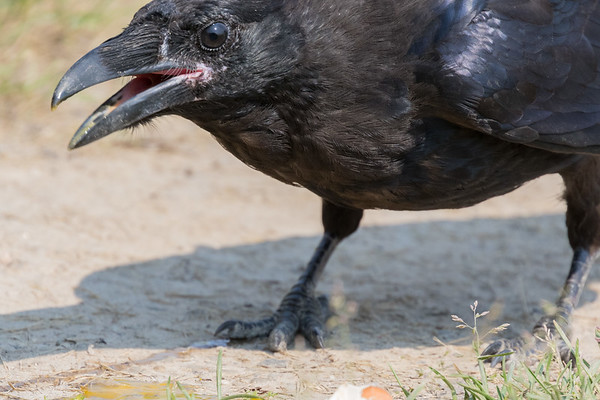 Headshot of juvenile raven on the ground. Beak open, tip of beak out of focus.