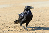 Raven crossing the road.