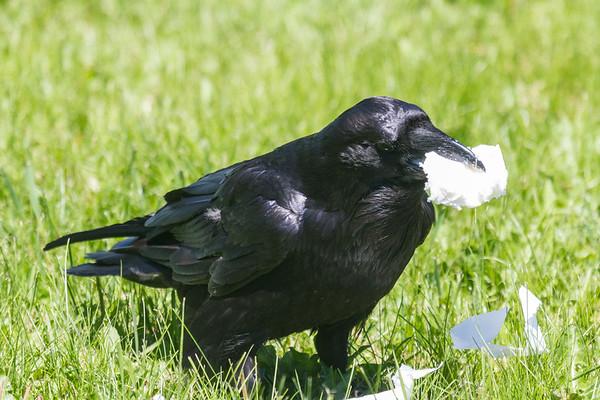 Raven with chunk of lard.